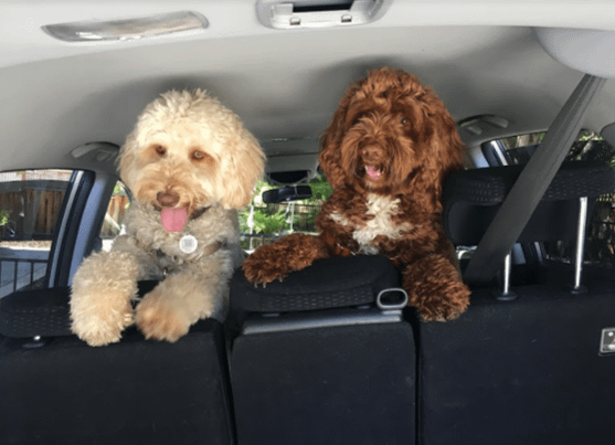 Doggos safely traveling in a car