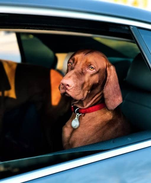 A Brown Dog with A Short Coat and Red Collar Sitting in A Car with the Window Rolled Down