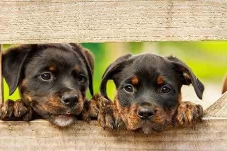 Two Rottweiler pups