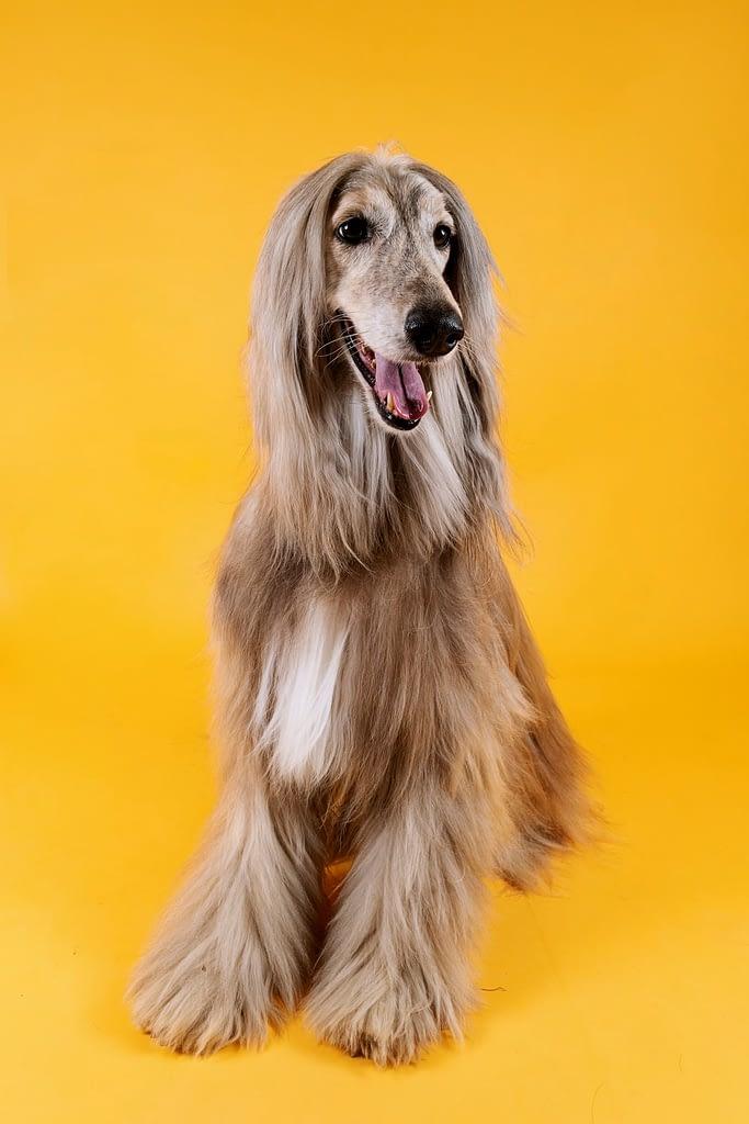 Dog-Afgano