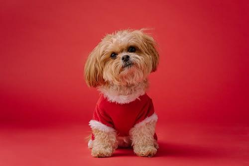 A puppy wearing a red shirt