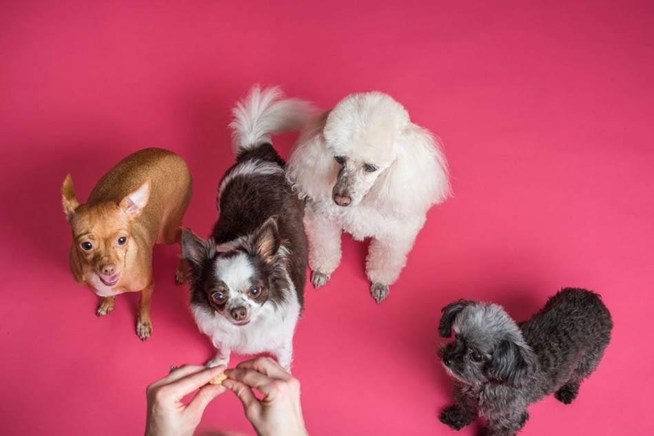 Four pet dogs