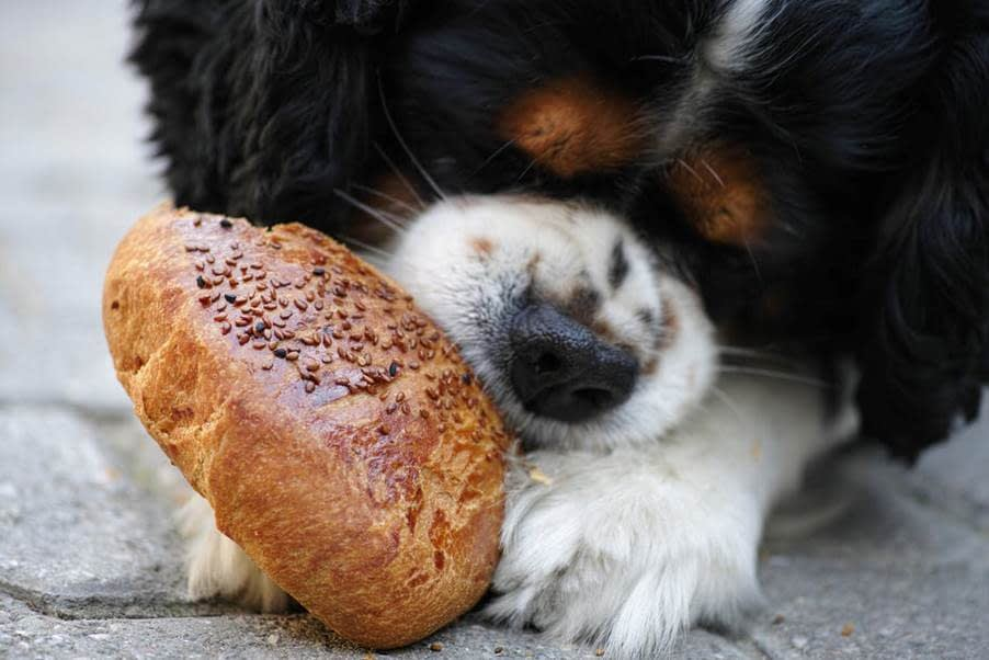 A Balck, Tan, and White Cavalier King Charles Spaniel Puppy Eating A Sesame-Encrusted Piece of Bread