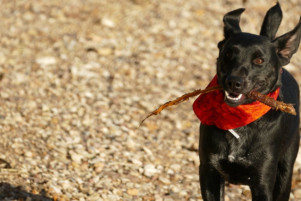 An Australian Kelpie with A Bandana Around its Neck, Holding A Branch Between its Teeth