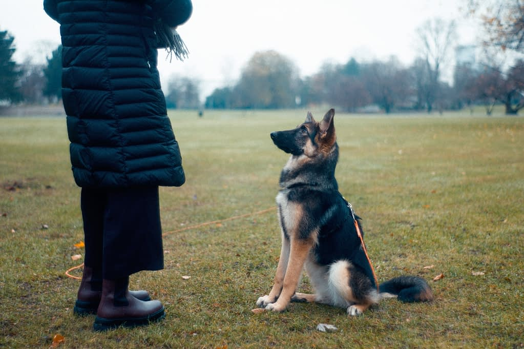 A German Shephard Sitting In Front of Its Trainer During Obedience Training