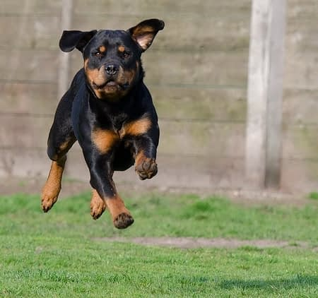 Rottweiler running in the yard