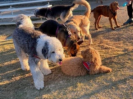 Dogs socializing on a playdate