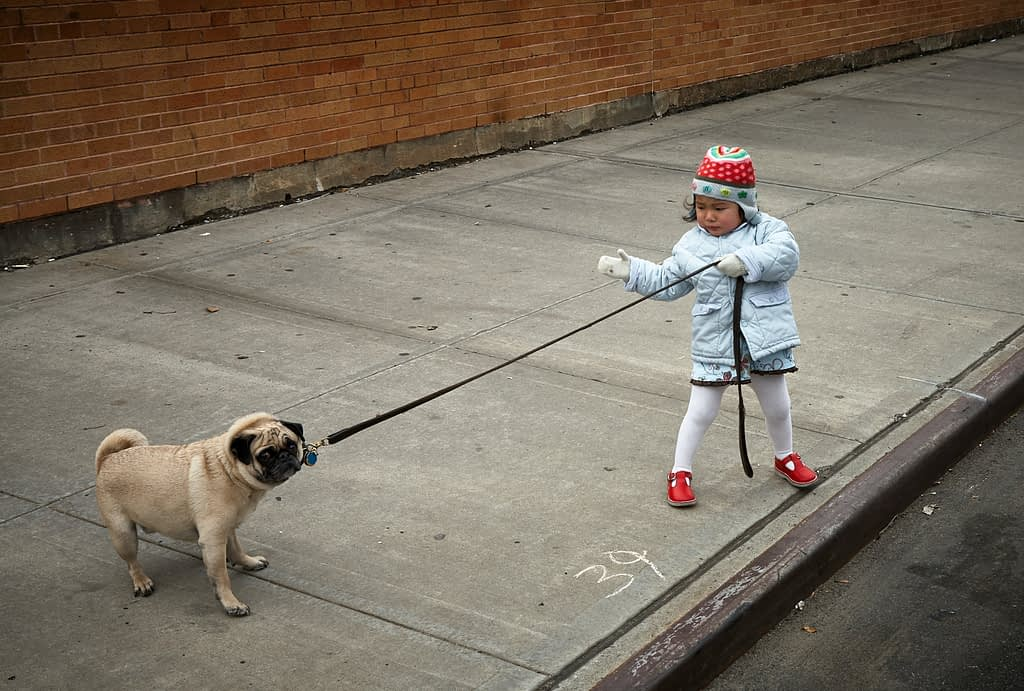 A Little Girl Pulling On An Immovable Pug's Leash