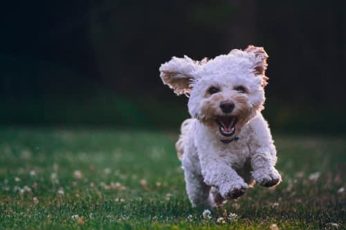 Fluffy white cockapoo running happily in the park