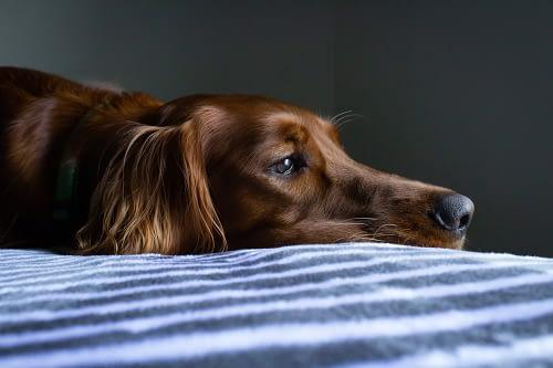 Dog feeling lethargic