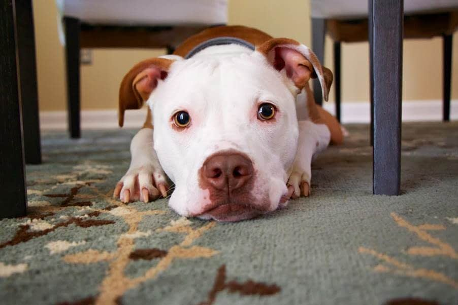 A Dog with A White Face and Brown Ears Leaning Its Head On A Carpeted Floor