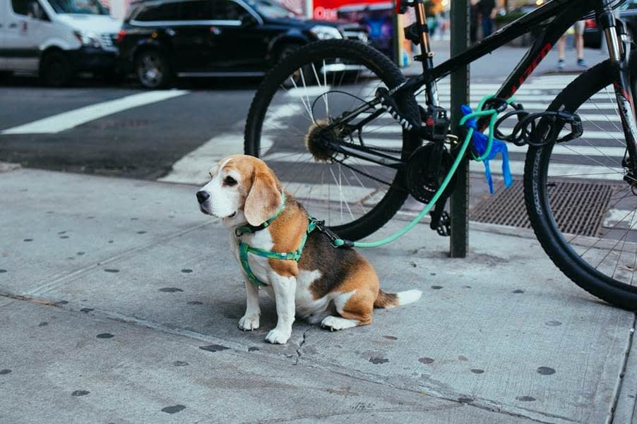 A Dog Secured by the Harness to A Parked Bicycle On A Sidewalk
