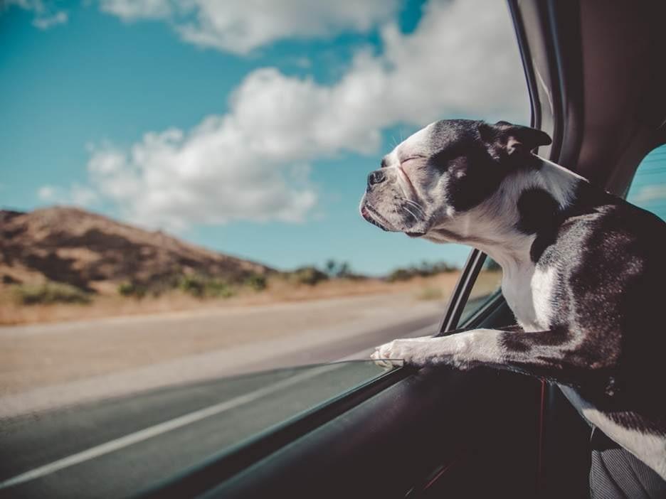 Dog enjoying fresh air